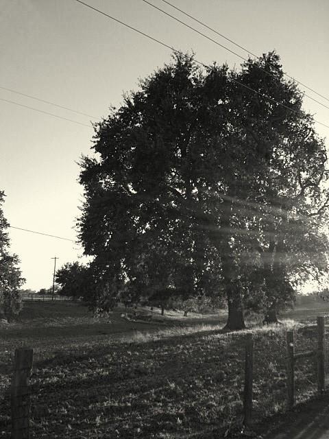 tree ray