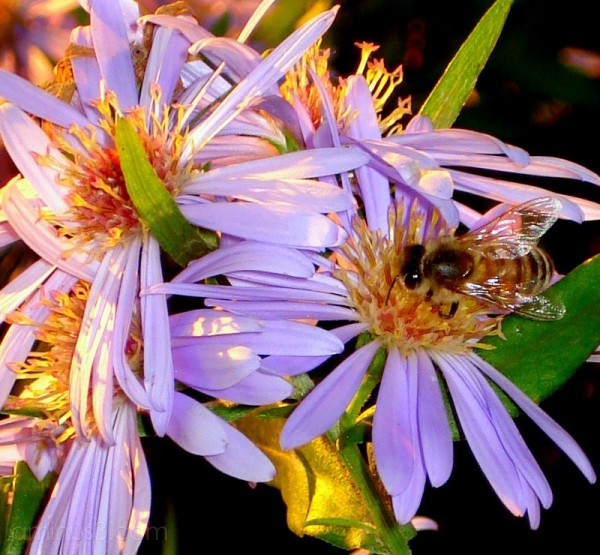 flower bee sunset