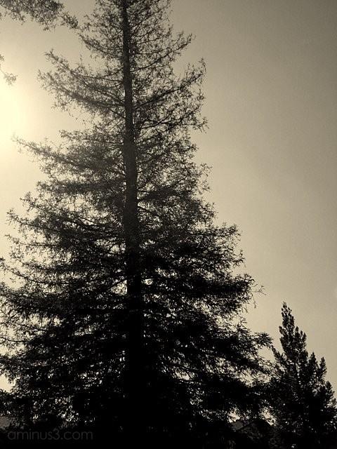trees tree silhouette