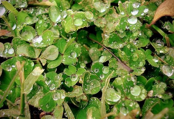 grass clovers