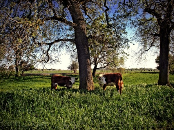 cows farm agriculture tree landscape