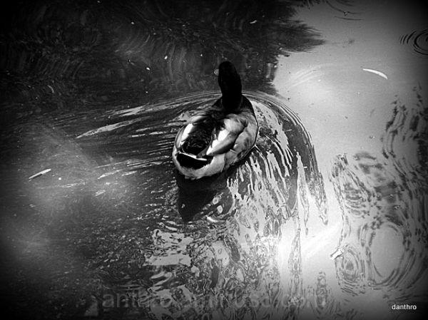 duck in creek