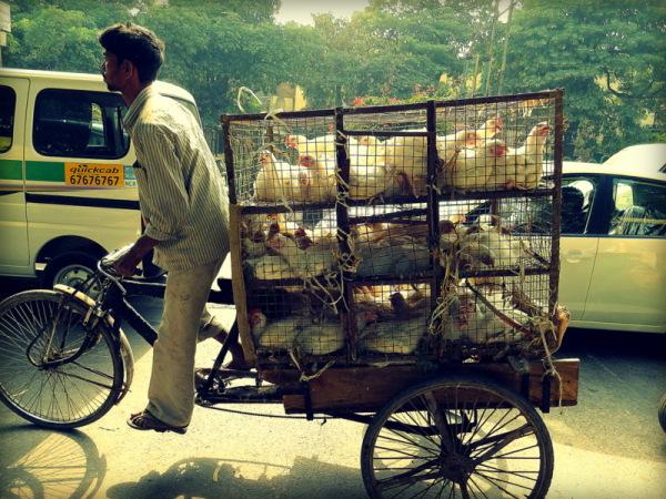 untitled chicken deliverer