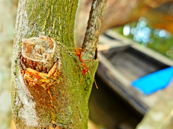 untitled backwaters red ant