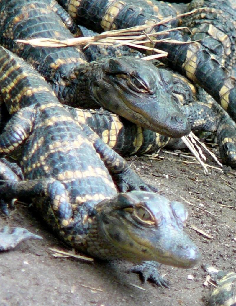 Baby Gators ...