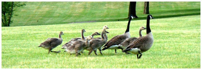 John and Kate Plus 7 or 8 Goslings ...