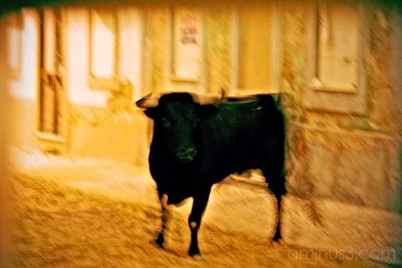 fighting bull on a street