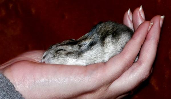 Hamster slept