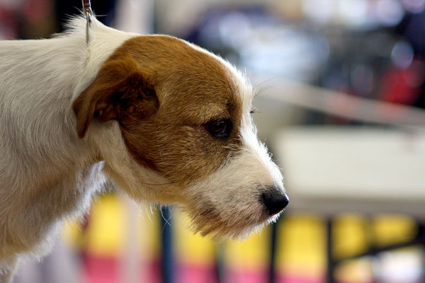 Close shot of a Jack Russell Terrier