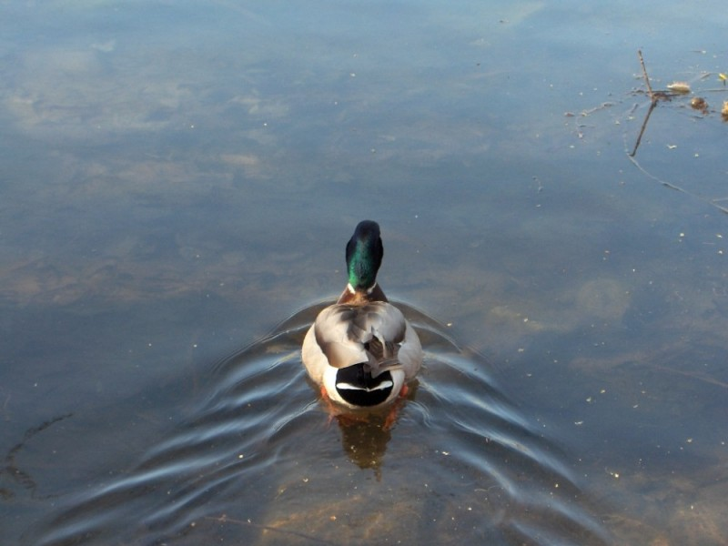 Duck_02