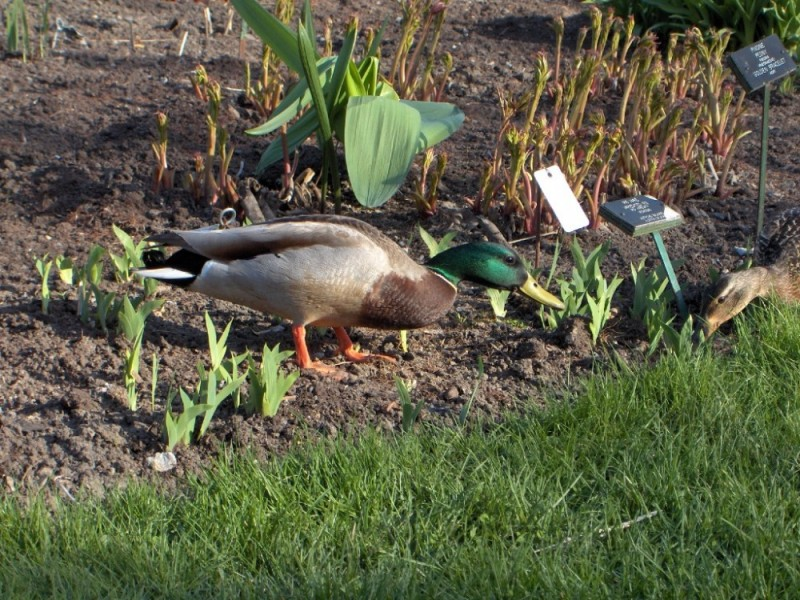 Duck_03 - petit coquin