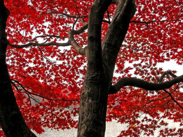 Autumn lace - Japanese maple tree