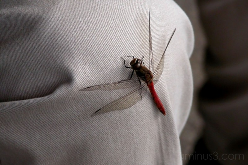 A dragonfly landed on my husband's knee