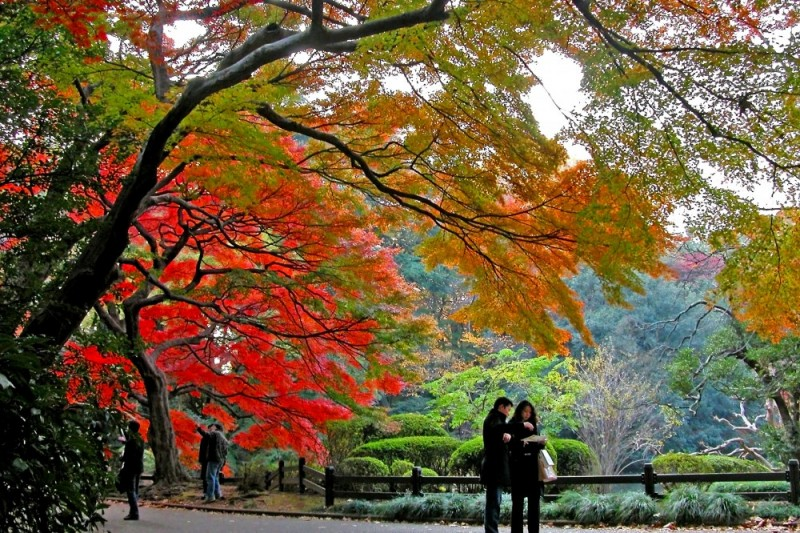 Maple trees have turned colours in Tokyo