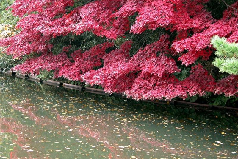 A maple tree by the pond,Shinjuku Gyoen,Tokyo