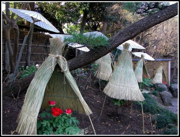 The Winter Peony Garden at Kamakura,Japan