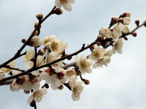 Ume herlads spring in Japan