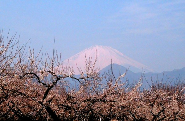Ume and Mt.Fuji viewed from Soga Bairin