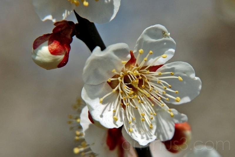 Closeup of a plum blossom