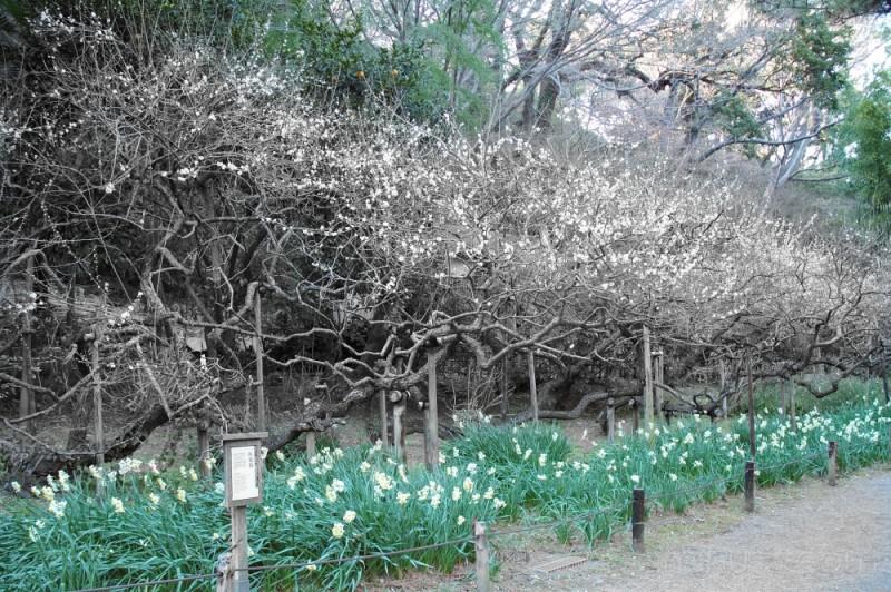 Garyobai - the crawling dragon plum tree,Sankeien