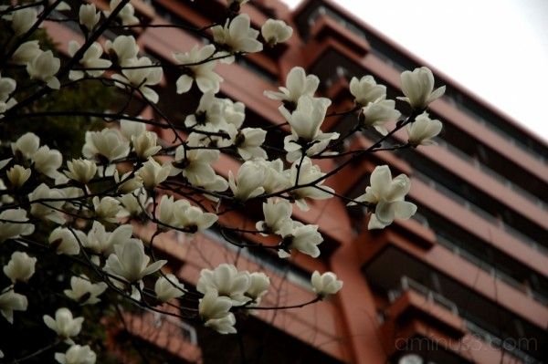 Magnolias have bloomed in Japan