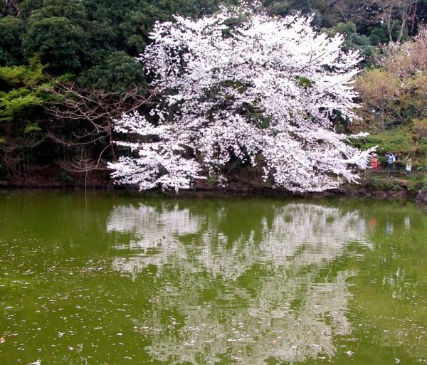 Cherry blossoms at Shinjuku Gardens, Tokyo