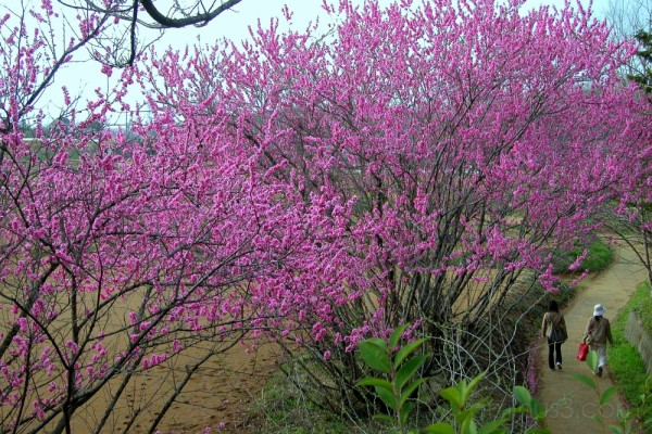 Peach trees in bloom, suburban Japan