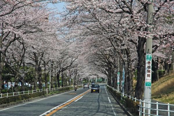 Driving under the sakura tunnel,Wakabadai