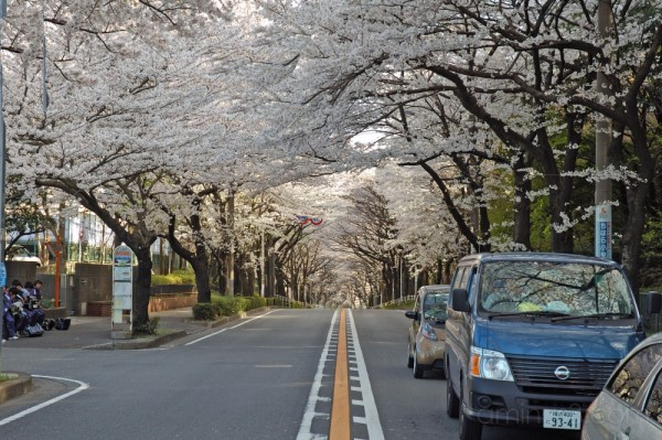 The cherry blossoms tunnel at Wakabadai,Kanagawa