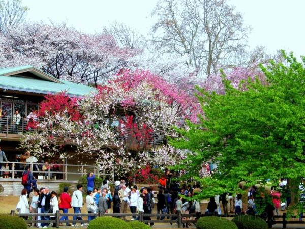 People enjoying spring blossoms,Tokyo