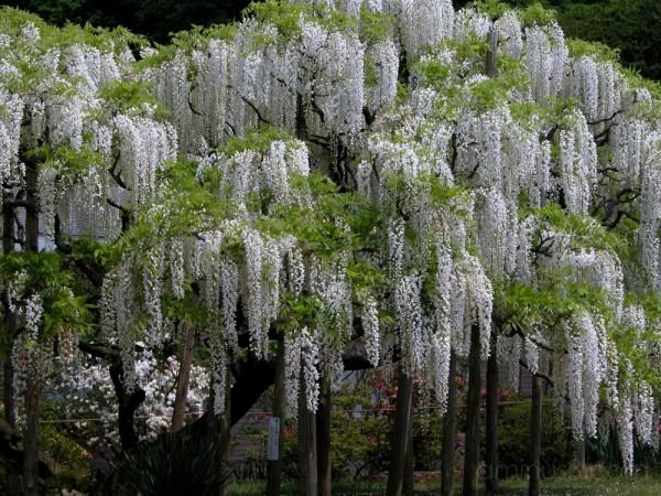 White wisteria tree at Ashikaga Flower Park