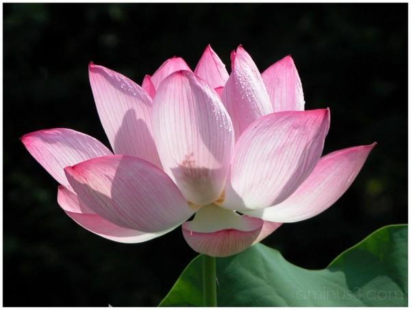 Lotus Bloom at Yakushike, Machida