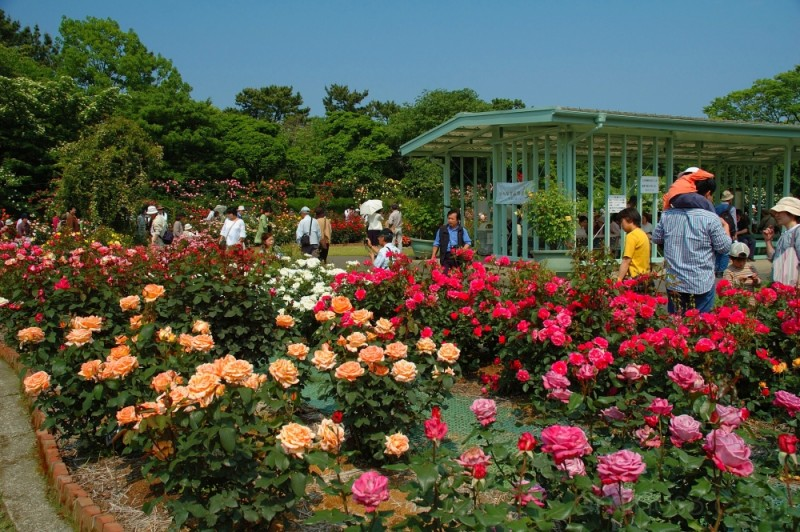 Rose garden at Ofuna Flower Center