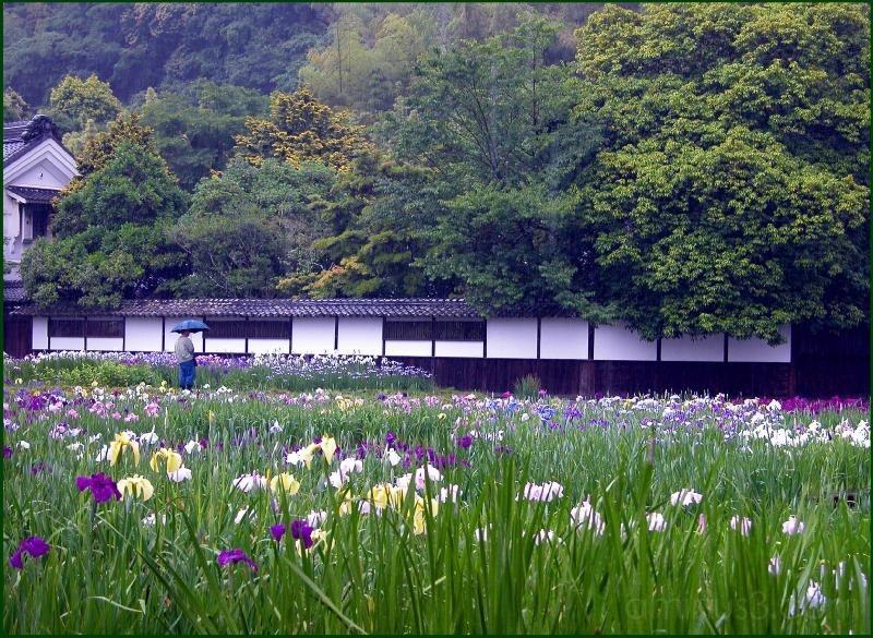 Kamo Iris Nursery at Kakegawa, Shizuoka-ken