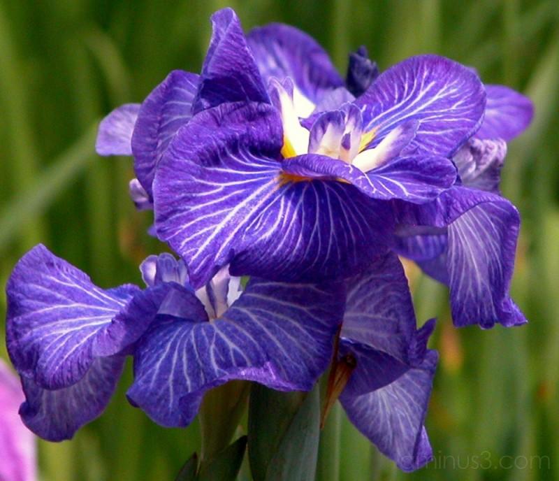 Japanese Iris at Horikiri Iris Garden, Tokyo