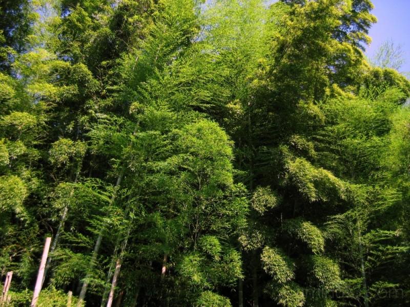 Bamboo grove in summer