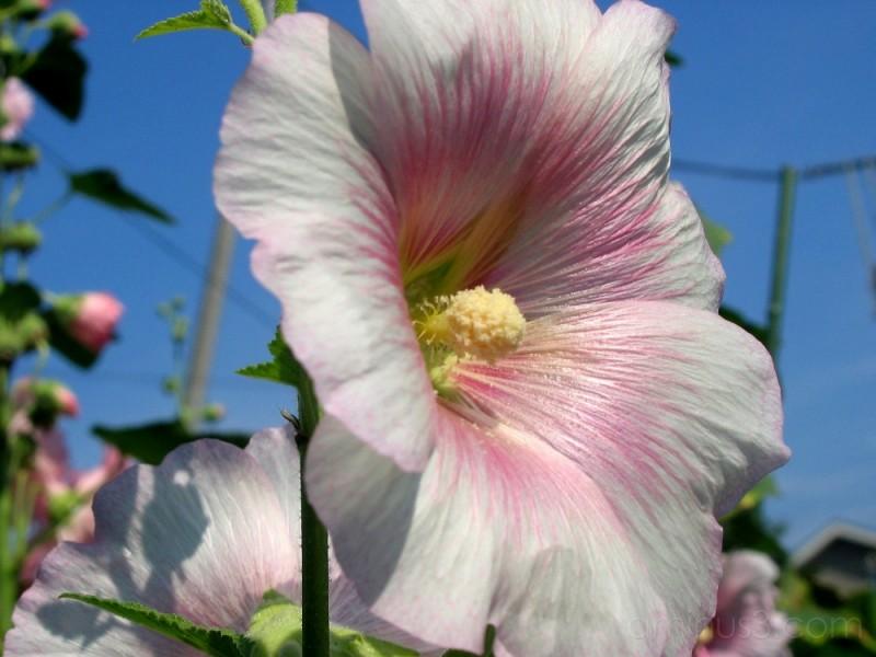 Roadside flowers: Hollyhocks