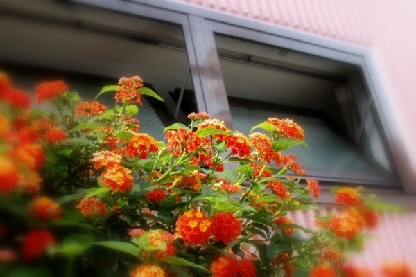 Flowers under the windows, Horikiri,Tokyo