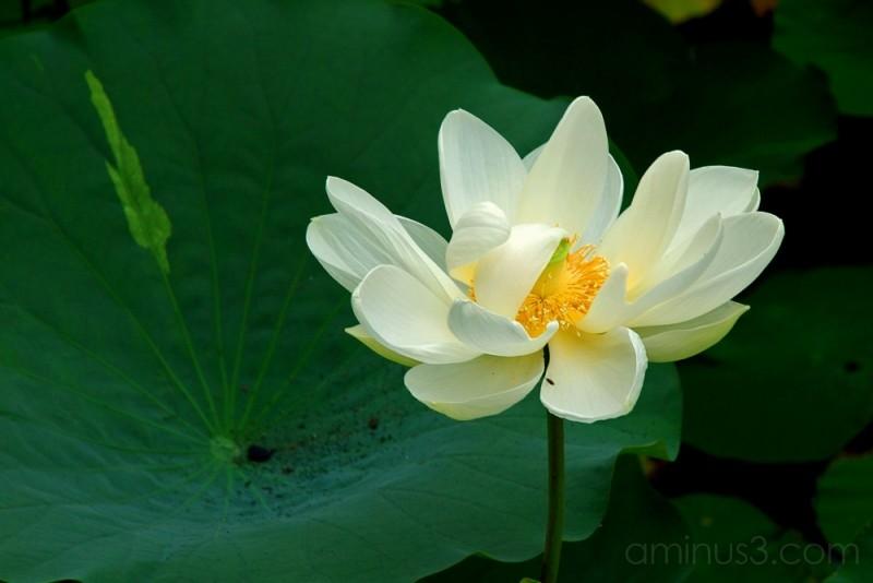 White lotus on a leaf, Genpei Pond,Kamakura