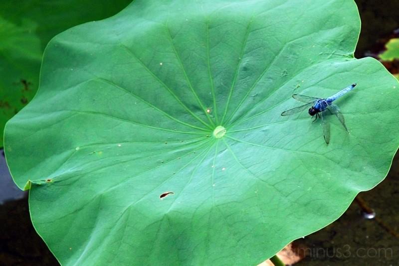 Dragongly on a lotus leaf,Kamakura