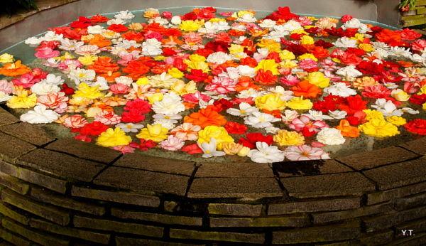 Floating begonias, Hakone Begonia Garden