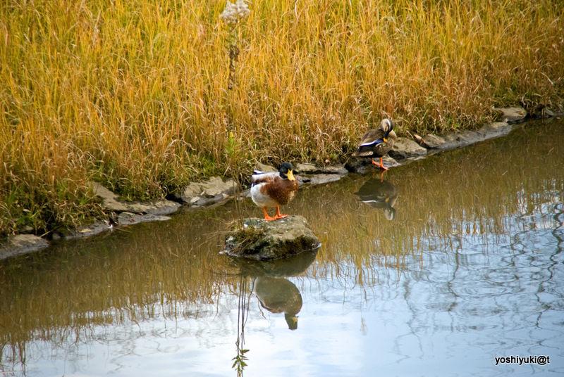 Ducks preening by the pond