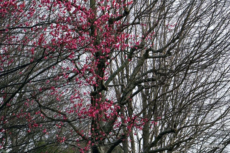Hikanzakura - the earliest sakura in Japan