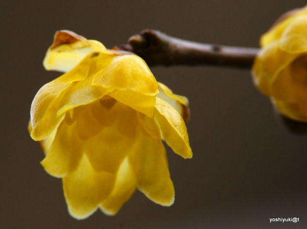 Yellow bells on branches
