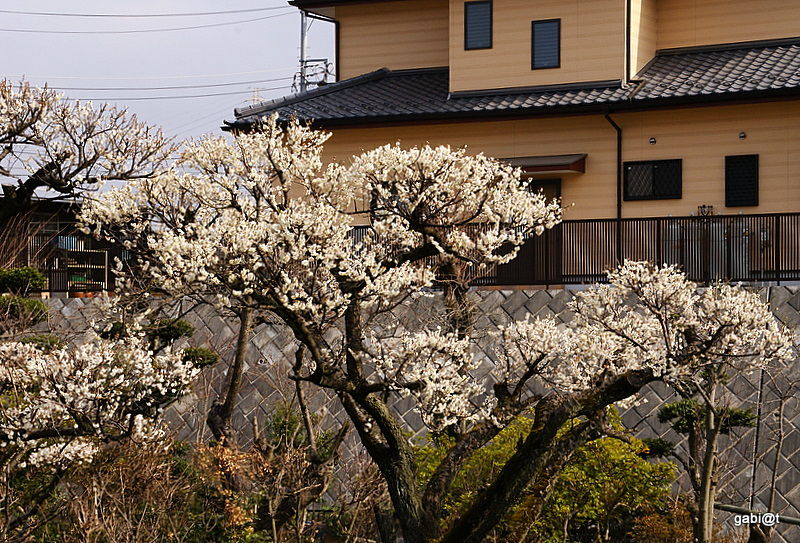 Ume blooming in suburban Japan