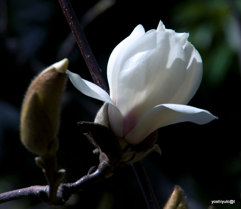 Magnolias are blooming again....