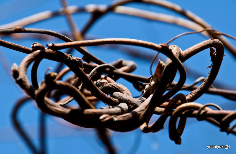 A Gordian Knot in nature....