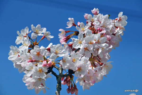 The most cheerful blossoms, suburban Japan