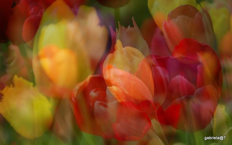 Digital design with multiple images of tulips