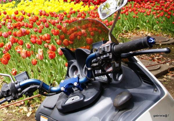 Even motorbikes love tulips, Yokohama citypark